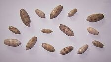 12 + 3 Free - Lettered Olives (Family Olividae) From Gulf Of Mexico - New!