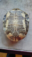 """Real Turtle Shell  7"""" by 5.5"""""""