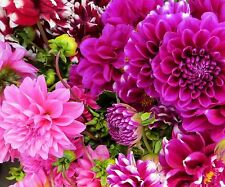 DAHLIA * D. variabilis * MIXED CULTIVARS * EXCEPTIONAL BORDER PLANT * SEEDS