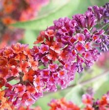 BEAUTIFUL BICOLOR BUDDLEIA BUTTERFLY BUSH POTTED PLANT