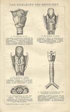 1894 KEHLKOPF DES MENSCHEN Alter Druck Antique Print Lithographie Anatomie