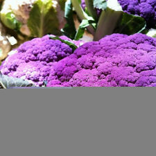 200 pcs Heirloom Purple Cauliflower Seeds Rich Nutrients make a delicious dish