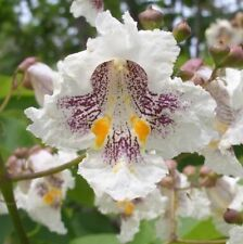 NORTHERN CATALPA TREE Indian Cigar Flower 10 Seeds