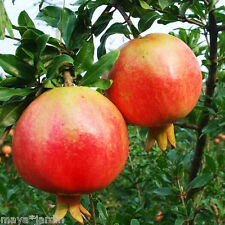 50 graines Grenadier Rouge (Punica granatum) Pomegranate Fruit Samen Seeds
