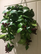 Aeschynanthus Mona Lisa Red Plant in a Hanging Pot.  Lipstick Plant