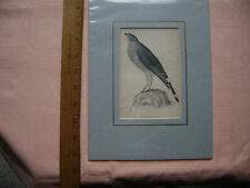 NICE 1800's Print - Black Chinned Gosshawk.  Published by Lizars.