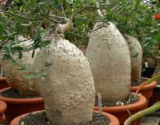 Fockea Edulis - Seeds - Caudex Forming South African Pachycaul