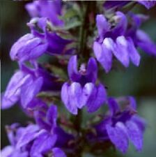 Flower - Lobelia - Blue Cardinal - 100 Seeds