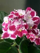 "African  violet "" CHERRY ORCHARD  "" /Russian variety /Starter/. NOT IN BLOOM"