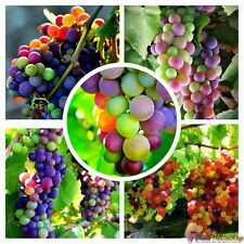 Rare American Rainbow Grapes Extra Super Sweet 15 Bonsai Seeds, Super Sweet