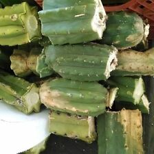 "13+ LBS MATURE SAN PEDRO CACTUS CUTTINGS, T. PACHANOI, 3"" to 12 "" LONG FREE SHIP"