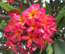 Sunburst Frangipani (Plumeria sp.) -10 Seeds