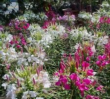 Cleome,Queen,500 Seeds Mixed,Spider Plant; white, Rose Queen and Violet Queen. !
