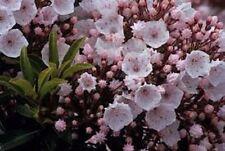 KALMIA LATIFOLIA 'ELF' - MOUNTAIN LAUREL - STARTER PLANT - APPROX 2-3 INCH