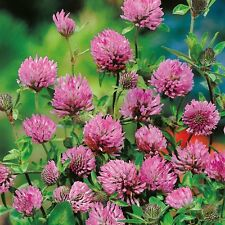 Green Manure Seeds - Red Clover - 50gms