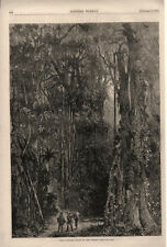 India Rubber Trees in the Forest    -   1875