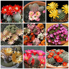 20 seeds of Rebutia mix, cacti mix, succulents seeds mix R