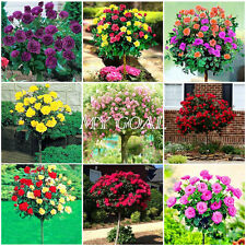 100Pcs Colorful Rose Tree Seeds Bright Balcony Yard Flower Plant Garden Mixed