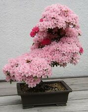 Cherry Blossom Bonsai, Japanese Sakura Tree Viable Seeds - UK Seller