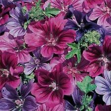 20+ MYSTIC MERLIN FLOWER SEEDS MIX (MALVA) / PERENNIAL