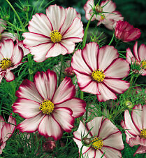Pink Cosmos Seeds, Picotee, Heirloom Cosmos, Non-Gmo, Draws Butterflies, 50ct