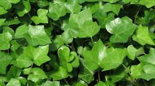 Ground Cover ENGLISH IVY Rooted Starts -   15 starts $9.88   **FREE SHIPPING**
