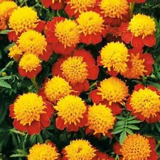 Flower seed - Marigold French Tiger Eyes