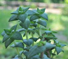 Crassula Rupestris –Plante grasse, Succulent, Suculenta