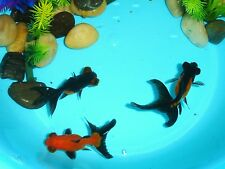 Live Red and Black Dragon Eye Goldfish for aquariums and ponds