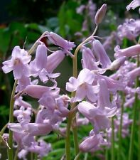 25 PINK BLUEBELL HISPANICA-WOOD HYACINTH-NATURALIZES WELL-PERENNIAL SPRING BULB