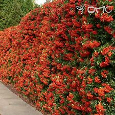 SCARLET FIRETHORN (Pyracantha Coccinea) 30+EXTRA seeds (#114)