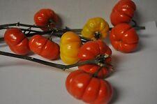 Mini Pumpkin Tree Solanum integrifolium SEED Cut flower display for fall lasting