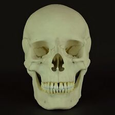 HUMAN MALE EUROPEAN ADULT SKULL REPLICA (REAL SIZE) C-21