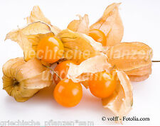 Ande MIRTILLO * vitamina frutto ricco * 25 semi mehrjahrig * Physalis peruviana REGALO