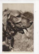 Golden Spaniel Dog Vintage Postcard 141b
