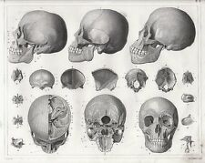 A4 Poster – Vintage Cross Sections of the Human Skull(Picture Print Medical Art)