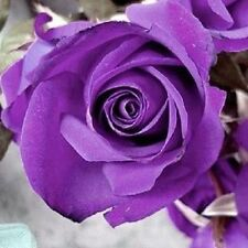 30 Pcs Purple Rose Flower Seeds Home Garden Plants Decorations Free Shipping