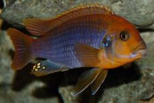 Four Fish Colony, Rusty Cichlid Mbuna African Iodotropheus sprengerae 1.5 in.