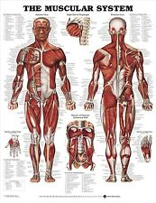 MALE MUSCULAR SYSTEM (LAMINATED) POSTER (66x51cm) CHART HUMAN BODY MEDICAL NEW