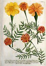 Kupferstich koloriert 1742 - STUDENTENBLUMEN Tagetes indica - Weinmann