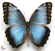 Morpho peleides,FEMALE,Unmounted butterfly