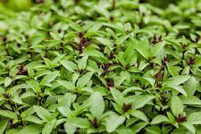 1 packet (1000+ seeds) - Basil - Que Thai - Thai Basil - Seeds