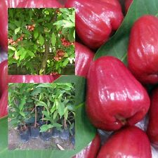 "Rose Apple Fruit plant grafted ""Tabtimjan"" Tall 22"" Wax Java Water Sweet Fruit"
