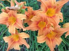Orange Daylily Seeds - 50 seeds