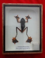 REAL EXOTIC WALLACE'S FLYING FROG TAXIDERMY FRAMED AMPHIBIAN