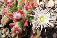 * Eisblume / Eiskaktus, eine anspruchslose, selten schöne Zimmerpflanze !