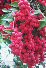 CHERRY SATINASH/RIBERRY,fruit tree,jam,spice,bush tucker,Syzygium luehmannii