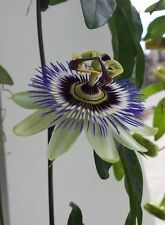 Passion Vine Seeds 50 Seeds Flower Passion Vine Seed  (Passiflora Caerulea)