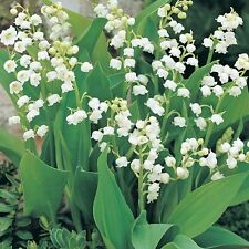 50 GIANT LILY OF THE VALLEY  Convallaria Majalis Bordeaux-Bare Root  Plants/Pips