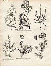 GRAVURE XVIIIe /  PLANTES EMPLOYEES DANS LES ARTS Pastel, colsa, Soude, Garance.